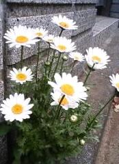 道端で咲くマーガレット