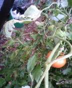 野良猫ちゃんと季節外れのミニトマト