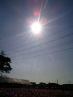 肉球風の太陽光とコスモス畑