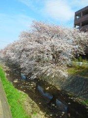 帰り道 桜並木をあるいて