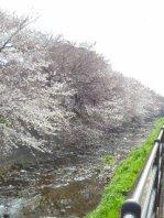 行き 桜並木をみながら