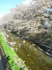 桜と花びらと川の流れ